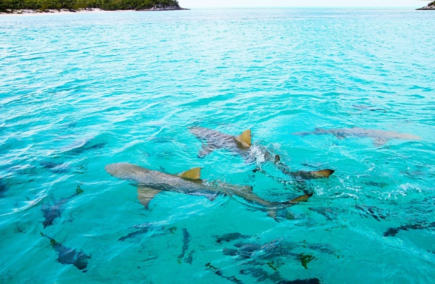 lemon shark fish water ocean sea