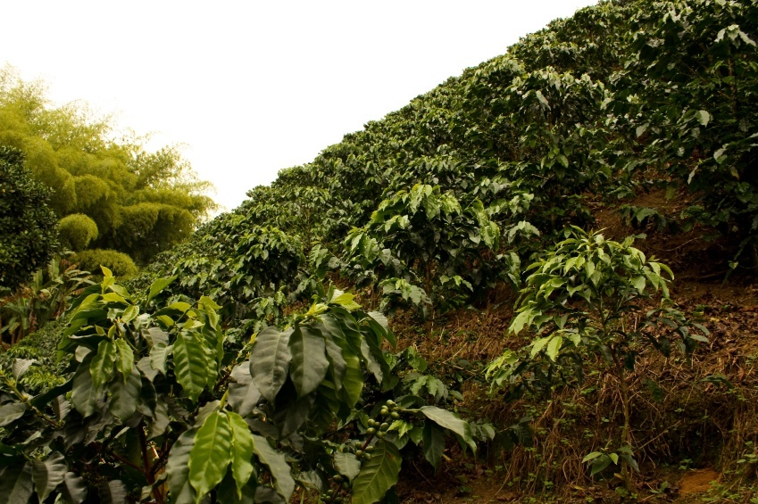coffee plantation colombia fields crops
