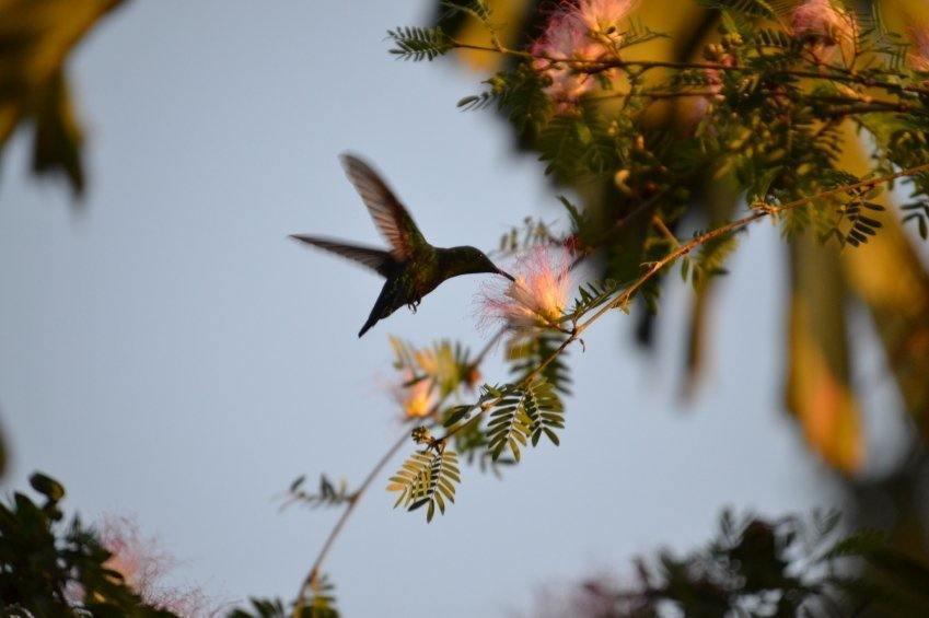 hummingbird saint lucia flower wildlife nature