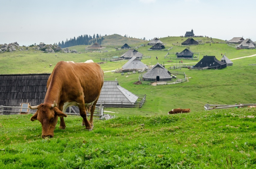 slovenia countryside farm huts cow animal