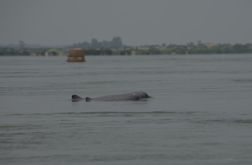 crate mekong river dolphin cambodia freshwater