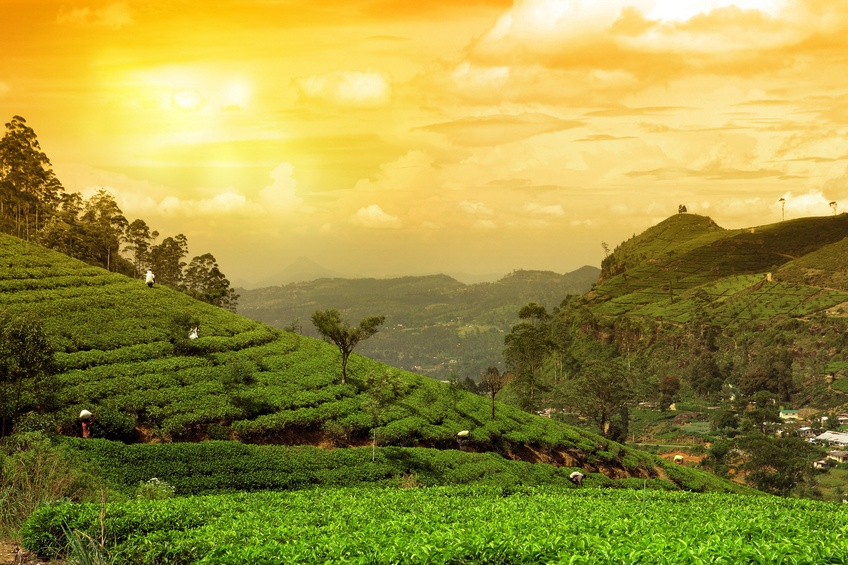 sri lanka tea plantation fields farming sunset rolling