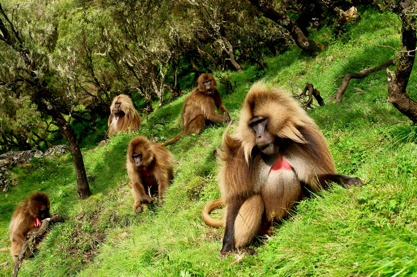 animals baboons ethiopia africa wildlife