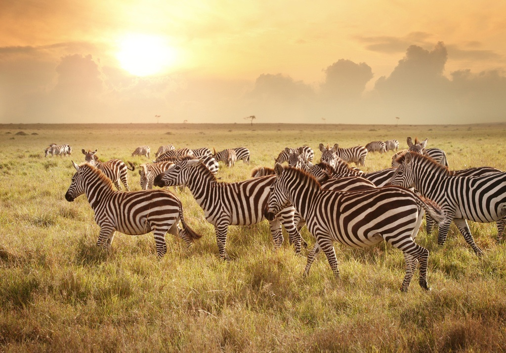 zebras masai mara serengeti animals savannah plains wildlife