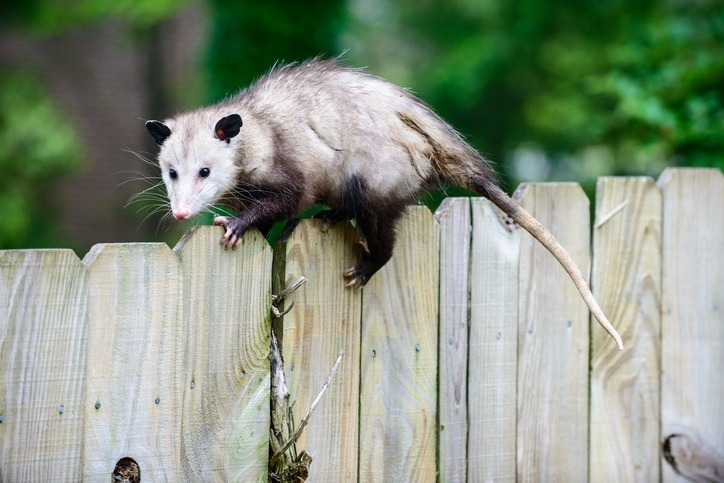 possum fence opossum animal cute