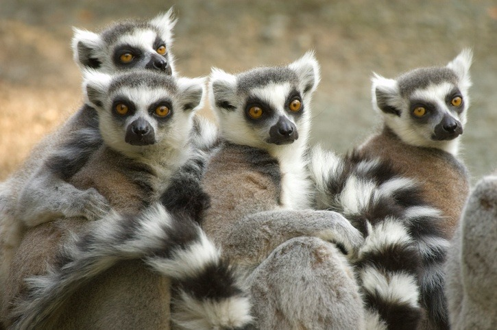 madagascar lemurs animals cute group