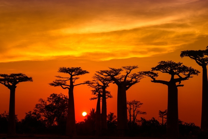 baobab trees sunset silhouette sky madagascar