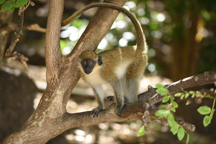 saint kitts nevis monkey tree animal caribbean wildlife
