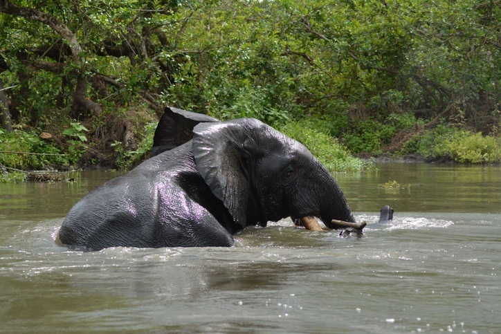 elephant river wildlife africa gabon