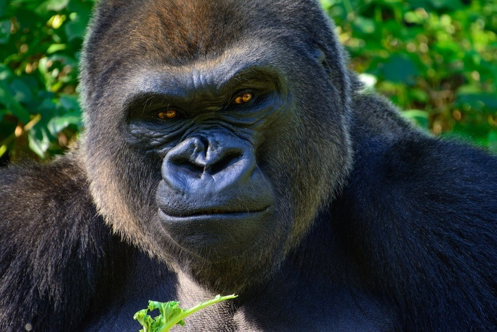 gabon gorilla face animal mammal wildlife africa