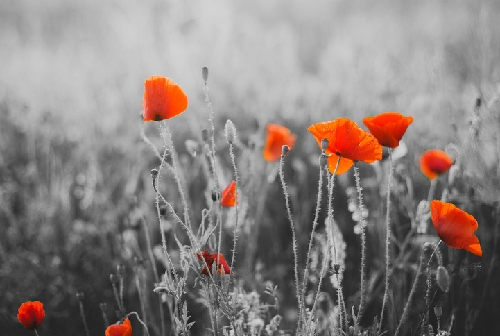 flanders fields poppies red flowers belgium